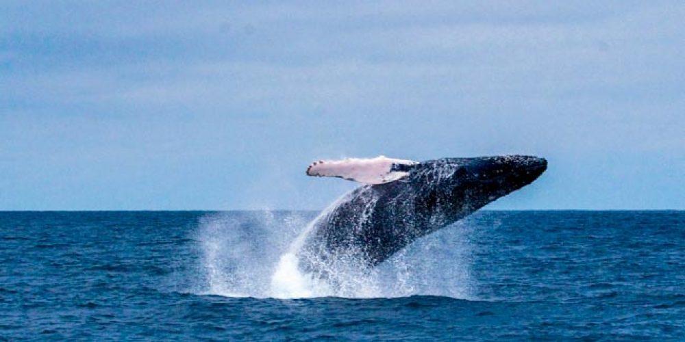 Las ballenas jorobadas ya se divisan desde Máncora y playas cercanas