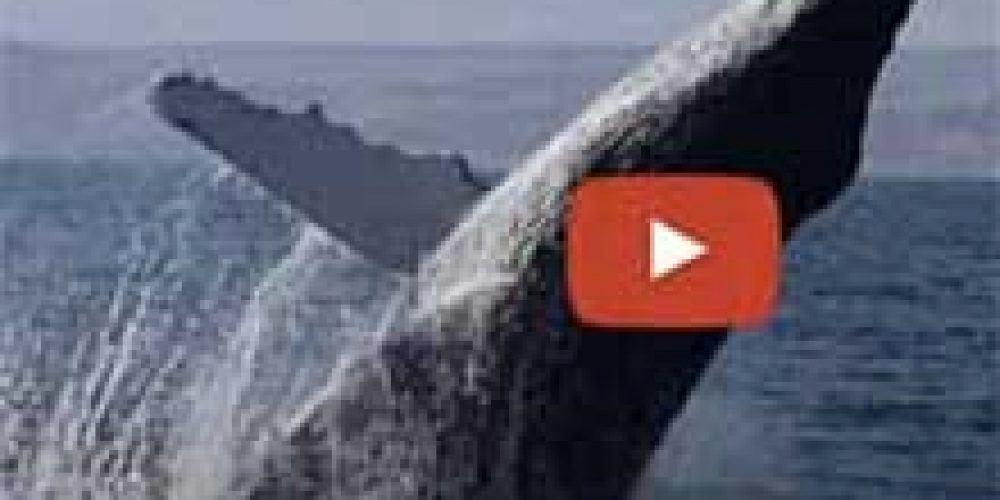 Pacífico Adventures lanza video sobre sus Tours de Ballenas