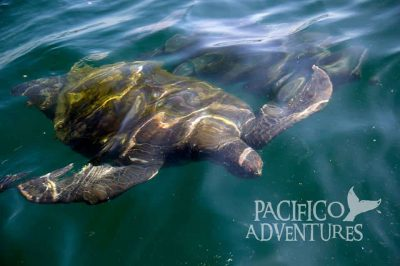 Tortugas con Pacifico Adventures
